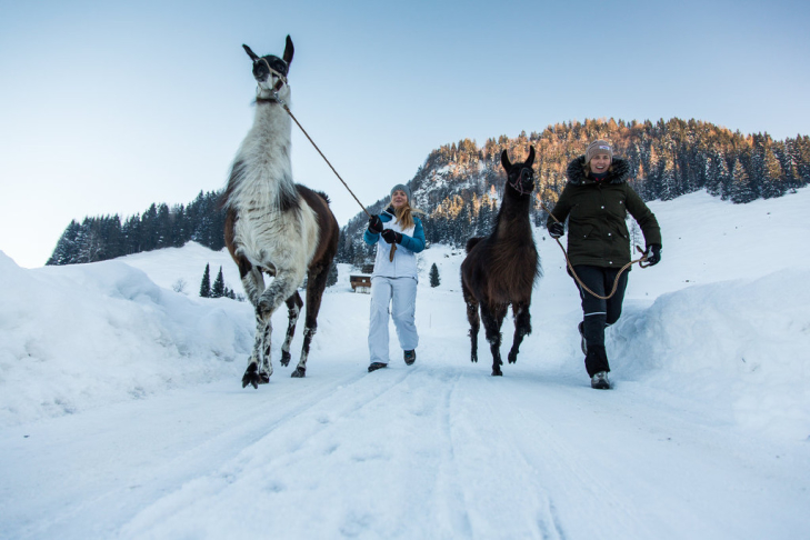 Llama tours at the Skicircus