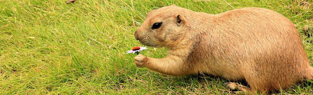 Marmot met bloem in de hand, dieren in de Alpen