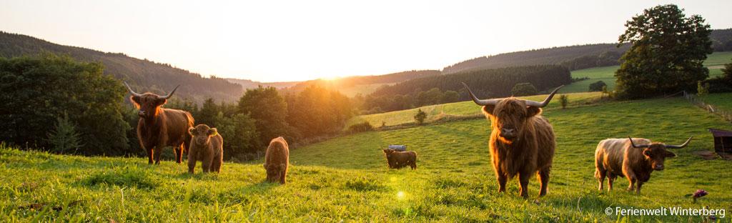 Koeien op de hellingen van het Sauerland bij Winterberg