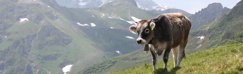 Een koe in de Alpen me een bel