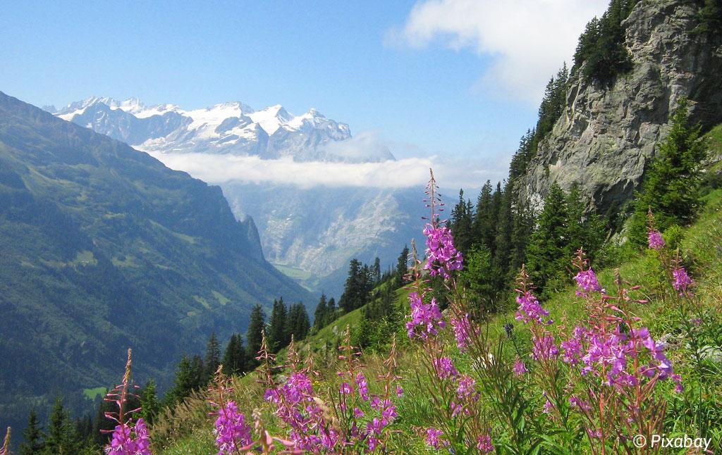 bloem wilgenroos bergen