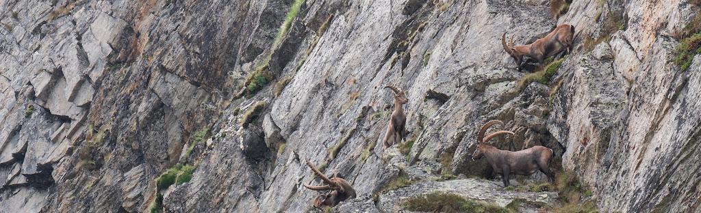 steenbokken op de berg