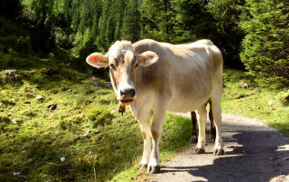Waarom dragen koeien een bel?