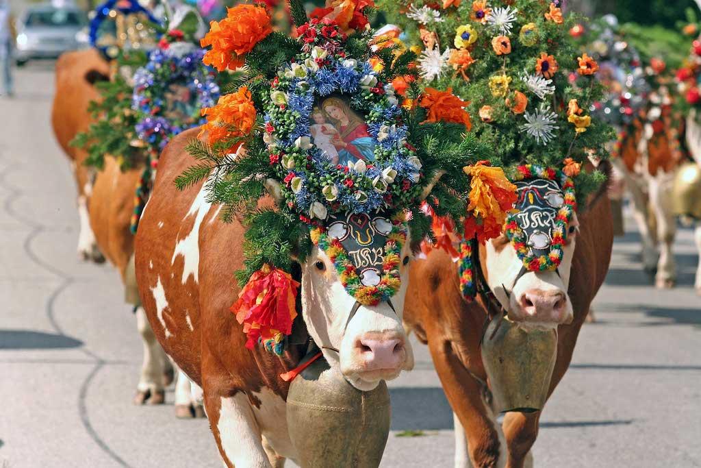 koeien almabtrieb