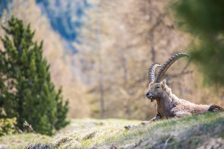 wilde dieren spotten Zwitserland